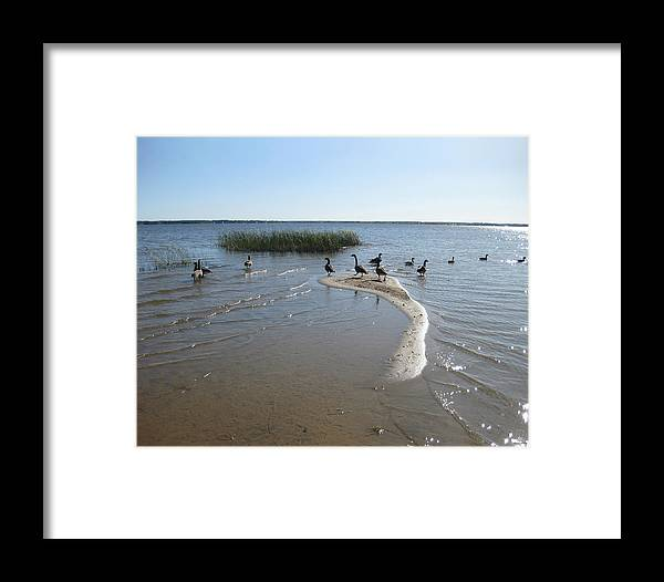 Birds Framed Print featuring the photograph Lakeshore Geese by Charles Dancik