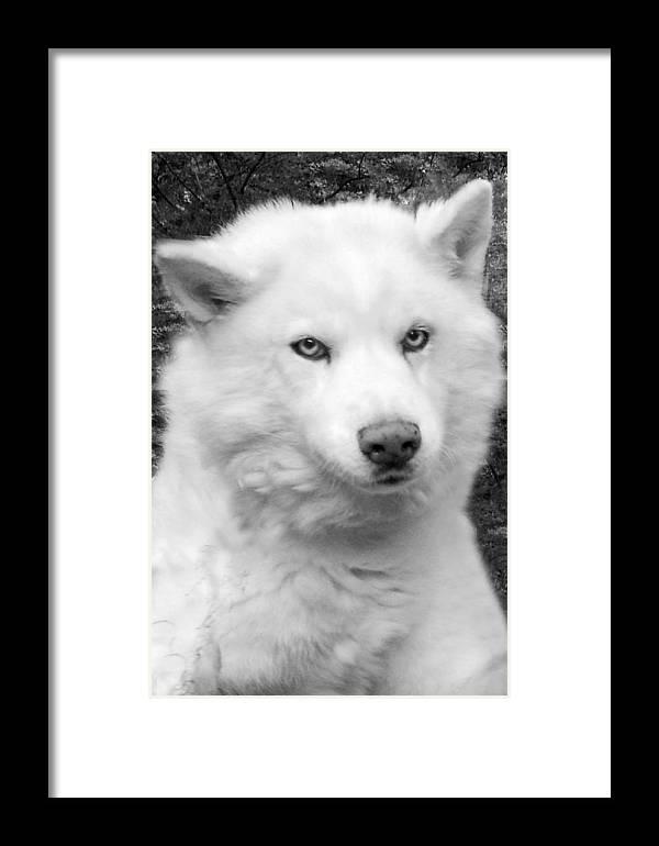 Siberian Husky Framed Print featuring the photograph Lakota by Eric Albright