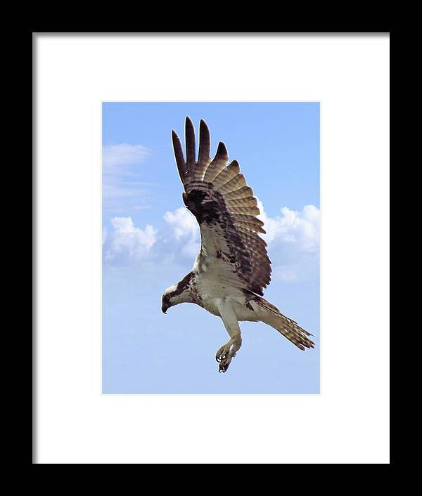 Osprey Framed Print featuring the photograph Landing Gear Down 2158 by J D Whaley