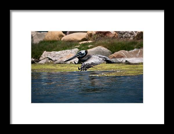 Pelican Framed Print featuring the photograph landing Pelican by Ralf Kaiser