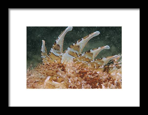 Scorpaena Scrofa Framed Print featuring the photograph Large-scaled Scorpionfish by Alexis Rosenfeld