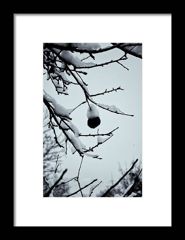 Vermont Apples Framed Print featuring the photograph Last Apple With Snow by Tom Singleton
