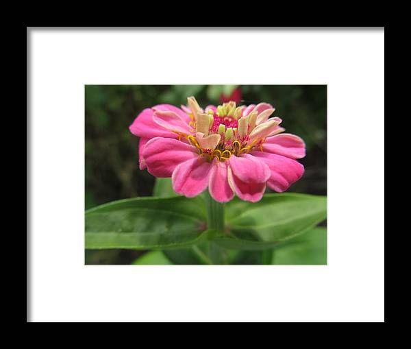 Flowers Framed Print featuring the photograph Last Pink Beauty by Tina M Wenger