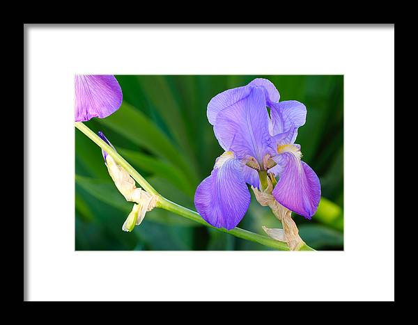 Iris Framed Print featuring the photograph Lavender Iris On Green by Kenneth Sponsler