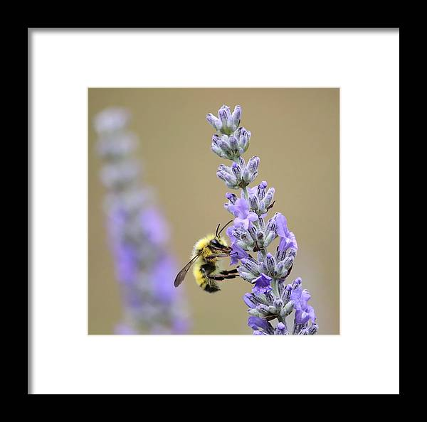 Bee Framed Print featuring the photograph Lavender Visitor by Angie Vogel