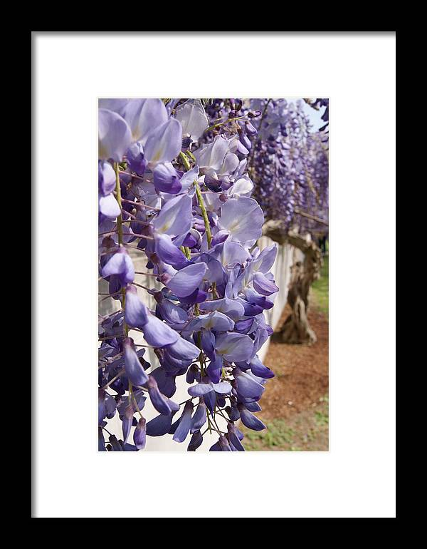 Flowers Framed Print featuring the photograph Lavender Wisteria by Tina McKay-Brown