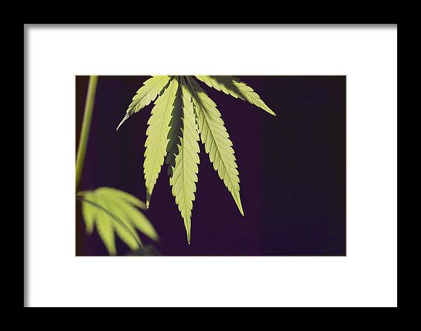 United States Framed Print featuring the photograph Leaves Of A Marijuana Plant Cannabis by Todd Gipstein