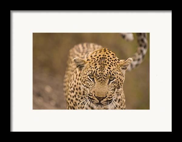 Arathusa Safari Lodge Framed Print featuring the photograph Leopard Panthera Pardus, Arathusa by Stuart Westmorland
