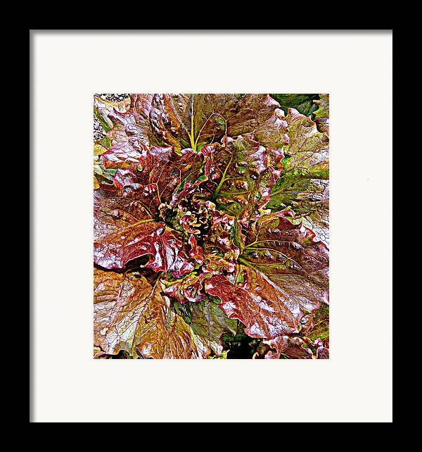 Vegetable Framed Print featuring the painting Lettuce by Mindy Newman