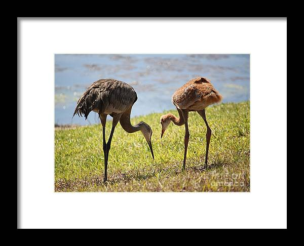 Sandhill Cranes Framed Print featuring the photograph Life Lessons by Carol Groenen