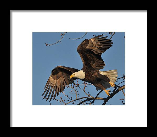 Eagles Framed Print featuring the photograph Lift Off by Jason Loving