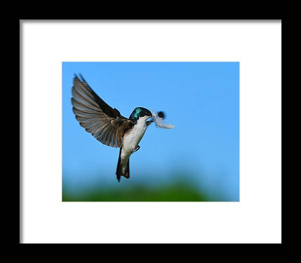 Tree Swallow Framed Print featuring the photograph Light As A Feather by Tony Beck