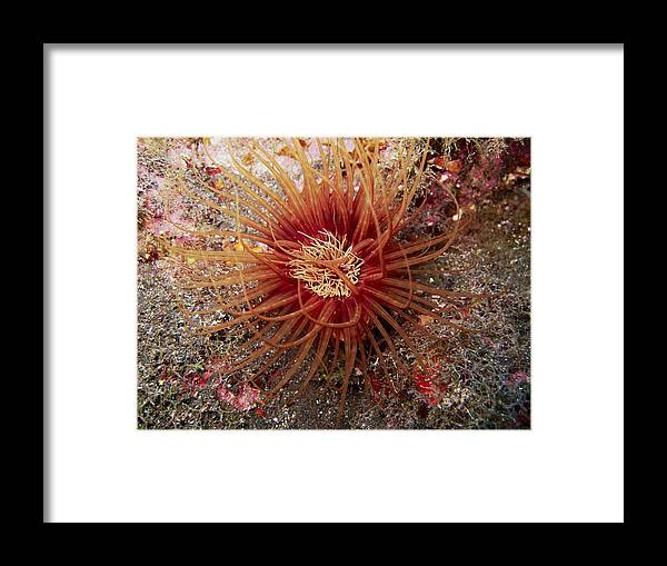 Underwater Framed Print featuring the photograph Light Brown Dark Banded Cylinder Anemone by Alessandro Pinna
