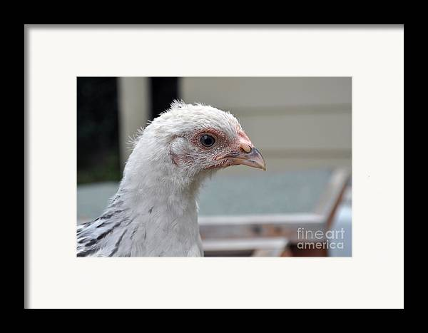 Chicken Photographs Framed Print featuring the photograph Light Sussex by Joanne Kocwin