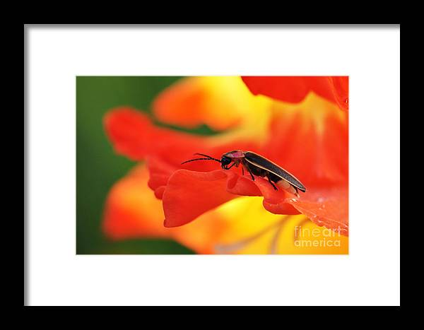 Firefly Framed Print featuring the photograph Lightning Bug On Gladiolus by Thomas R Fletcher