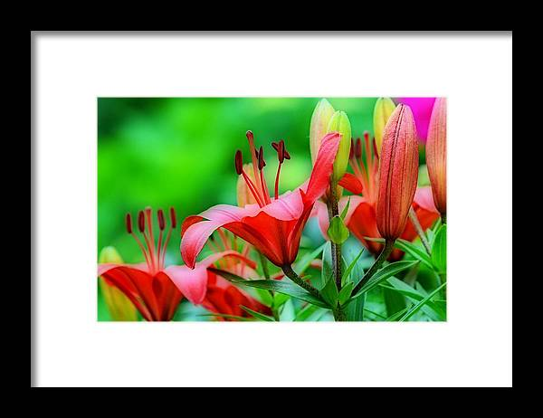 Lilies Framed Print featuring the photograph Lilies Ascending by Fraida Gutovich