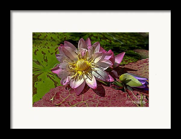 Pink Rose Waterlily Framed Print featuring the photograph Lilies No.19 by Anne Klar