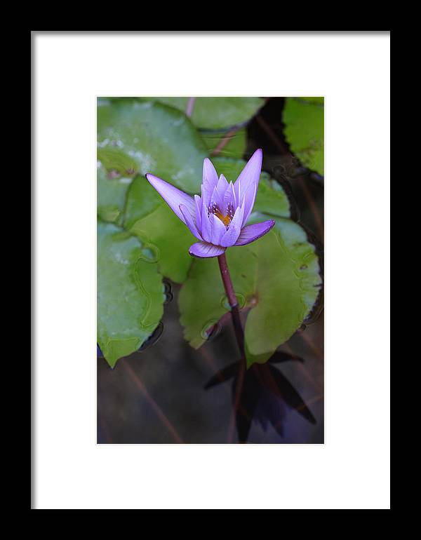 Lily Framed Print featuring the photograph Lily In Lavender by Tony and Kristi Middleton