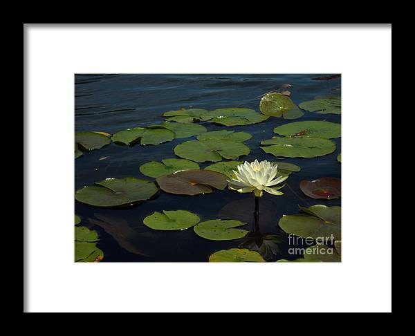 Lake Framed Print featuring the photograph Lilypad by Amanda Jones