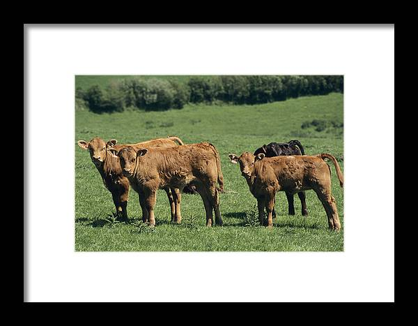 Bos Taurus Framed Print featuring the photograph Limousin Calves by David Aubrey