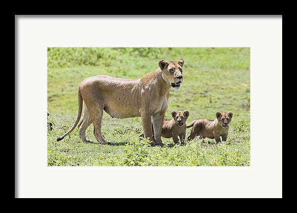 African Framed Print featuring the photograph Lioness With Cubs by Carson Ganci