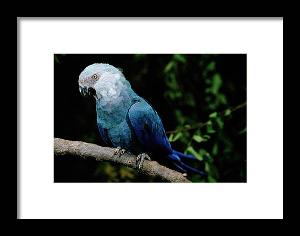 Mp Framed Print featuring the photograph Little Blue Macaw Cyanopsitta Spixii by Claus Meyer