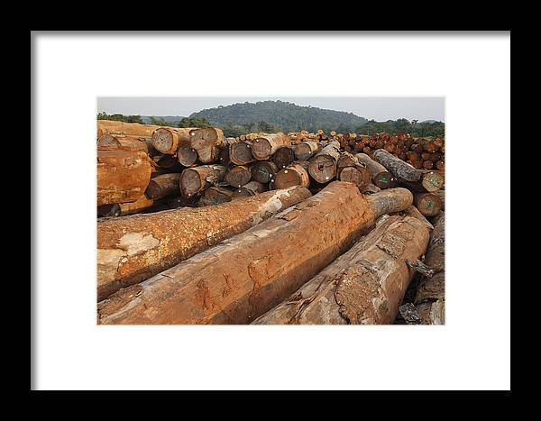 Mp Framed Print featuring the photograph Logged Timber From The Tropical by Cyril Ruoso