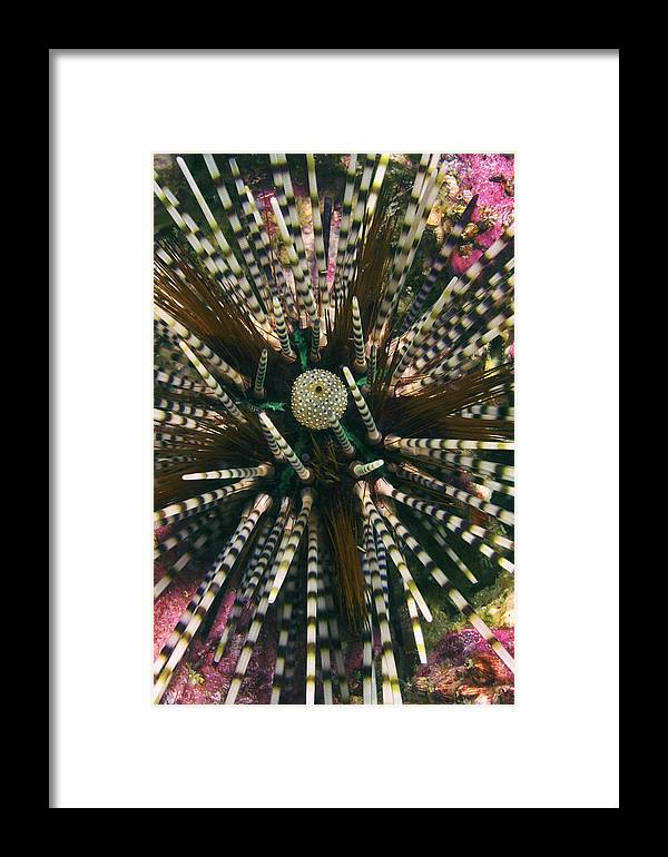 Long Spined Sea Urchin Framed Print featuring the photograph Long Spined Sea Urchin by Peter Scoones