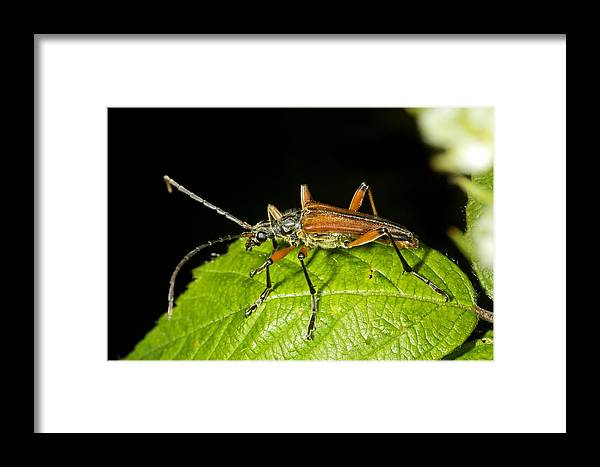 Stenocorus Meridianus Framed Print featuring the photograph Longhorn Beetle by Dr Keith Wheeler
