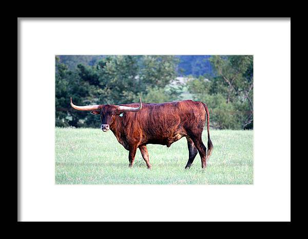 Longhorn Cows Framed Print featuring the photograph Longhorn Of Texas by Kathy White