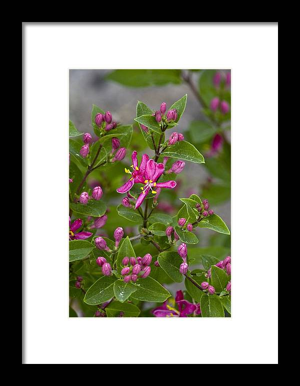 Tatarian Honeysuckle Framed Print featuring the photograph Lonicera Tatarica by Bob Gibbons