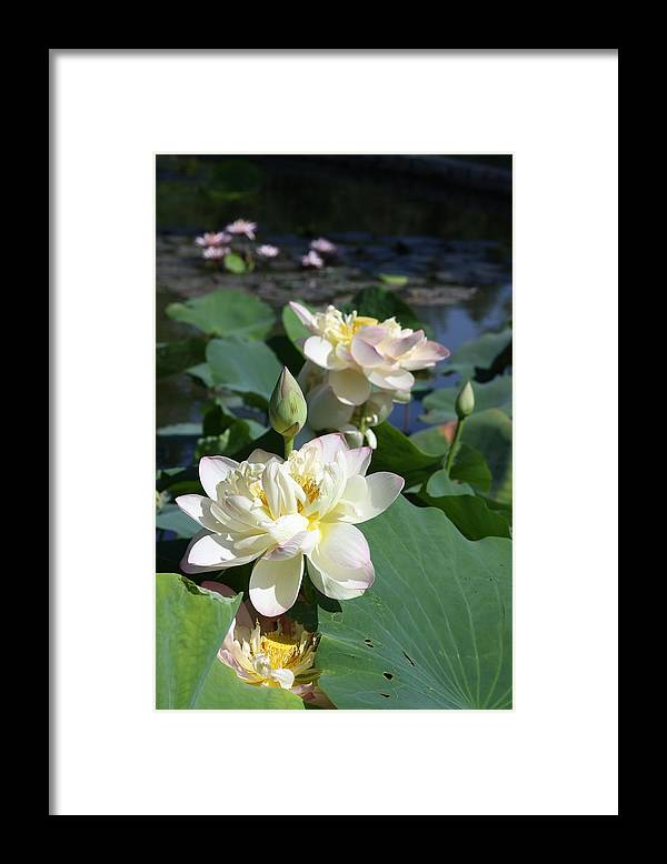 Lotus Framed Print featuring the photograph Lotus in Bright Sunlight by John Lautermilch