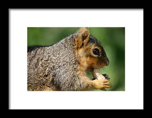 Squirrel Framed Print featuring the photograph Love My Peanuts by Floyd Leenerman