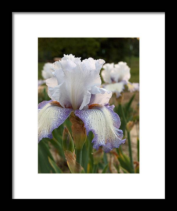 Iris Framed Print featuring the photograph Lovely Lavender by Racquel Morgan