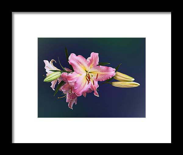 Lily Framed Print featuring the photograph Lovely Pink Lilies by Susan Savad