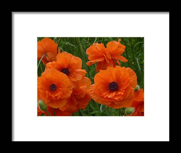 Flowers Framed Print featuring the photograph Lovely Poppies by Jeanette Oberholtzer