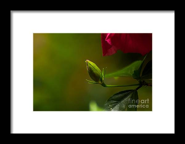 Blooming Photo Framed Print featuring the photograph Loves' Bloom by Venura Herath