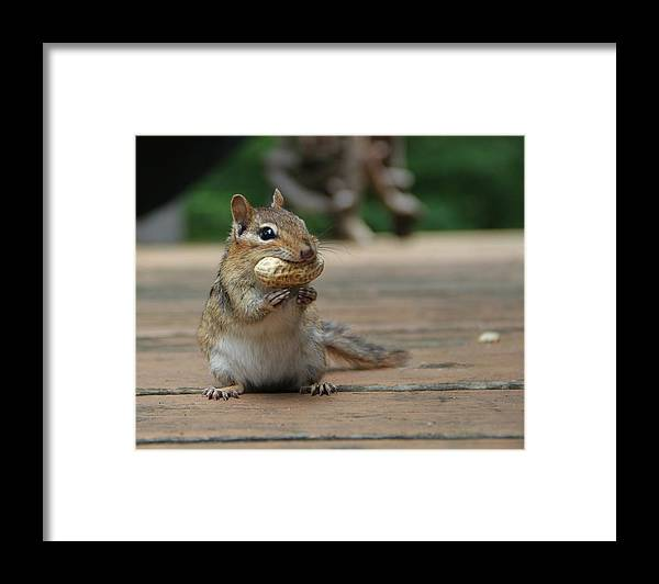 Chipmunk Framed Print featuring the photograph Lunch by Kim French