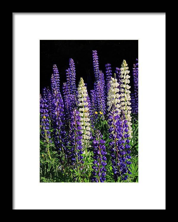 Lupine Framed Print featuring the photograph Lupine Flowers by John Burk