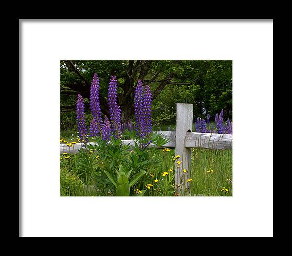 Lupines Framed Print featuring the photograph Lupines With Fence by Kathy Kenney