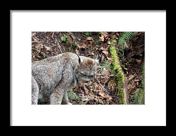 Northwest Trek Framed Print featuring the photograph Lynx - 0004 by S and S Photo