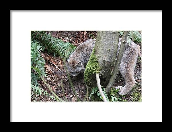 Northwest Trek Framed Print featuring the photograph Lynx - 0005 by S and S Photo