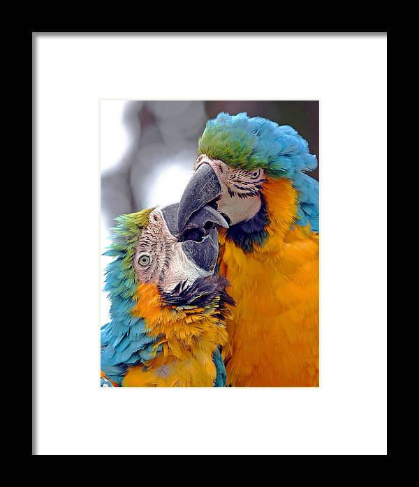 Adorable Amazon America Affectionate Affection Animal Avian Beautiful Bird Blue Care Caress Caribbean Color Colorful Couple Cute Endangered Forest Glue Intelligent Intimacy Jungle Kiss Kissing Lovable Love Lover Macaw Mexico Nature Pair Parrot Pet Protected Relationship Romance Romantic Smart Tenderness Threatened Tropical Valentine Wild Wildlife Yellow Talking Framed Print featuring the photograph Macaw by J Michael Elliott