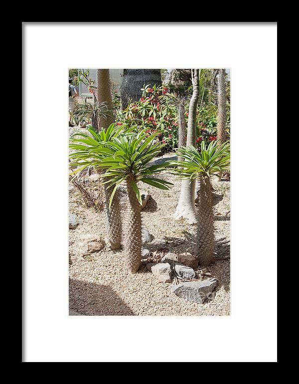 Balboa Park Framed Print featuring the digital art Madagascar Palms by Carol Ailles