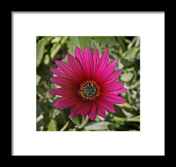 Flower Framed Print featuring the photograph Magenta In Your Face by Sumi Martin