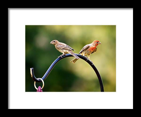 Female House Finch Framed Print featuring the photograph Male And Female House Finch by Linda Tiepelman
