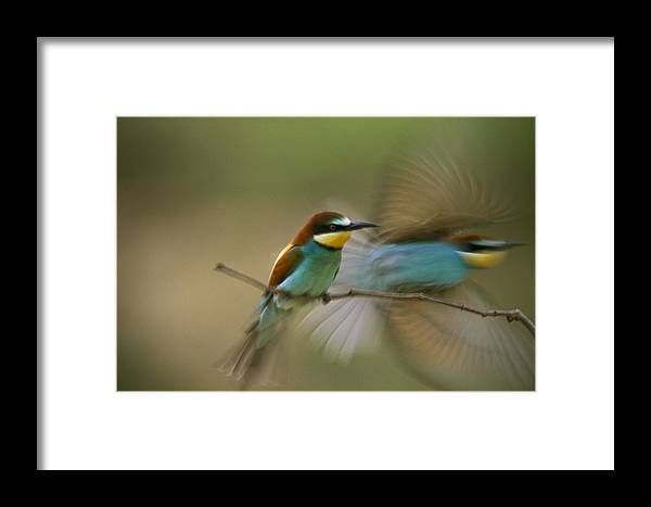 Two Animals Framed Print featuring the photograph Male Bee Eater Leaves Perch To Find by Joe Petersburger