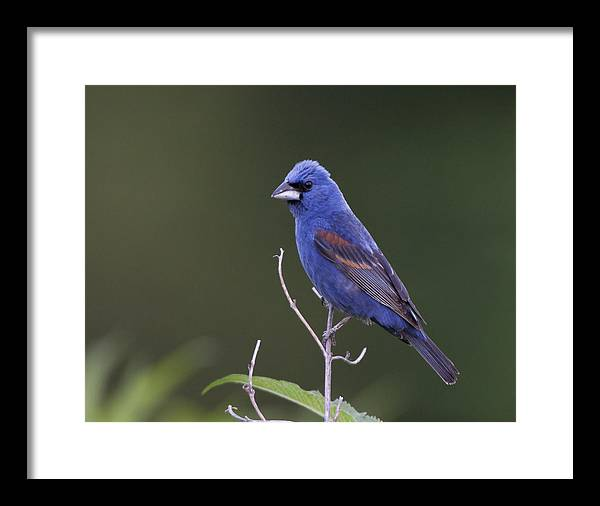 Framed Print featuring the photograph Male Blue Grosbeak by Ruhikanta Meetei