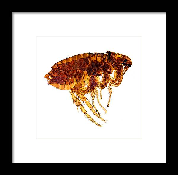 Pulex Framed Print featuring the photograph Male Flea, Light Micrograph by Dr Keith Wheeler