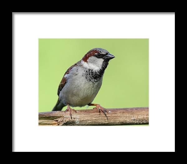 House Sparrow Framed Print featuring the photograph Male House Sparrow by Steve Javorsky